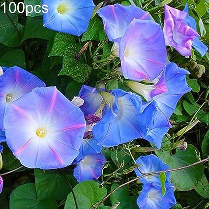 Amazon com : newshijieCOb 100Pcs Petunia Morning Glory Seeds
