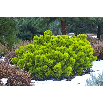 Pinus pumila Siberian Dwarf Pine Tree Seeds Perfect for Small Gardens Blue Green : Garden & Outdoor