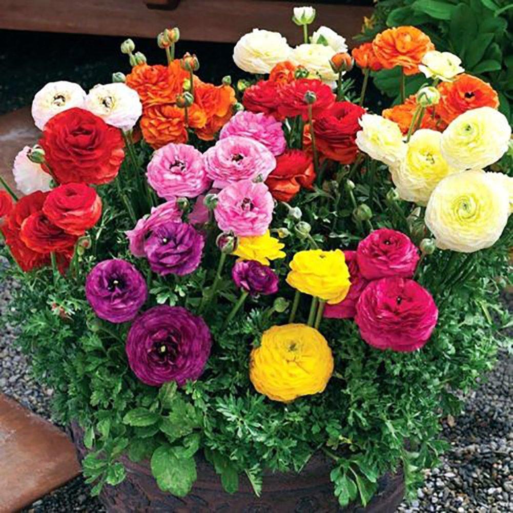 Tangbasi 50Pcs Flower Seeds for Pots, Perennial Ranunculus Asiaticus Seeds Garden Yard Planting