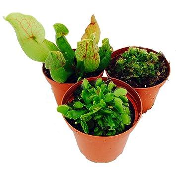 Amazon Com Carnivorous Terrarium Plants Assortment Of 3
