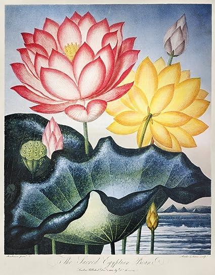 Amazoncom Thornton Lotus Flower Nthe Sacred Egyptian Bean Or Lotus