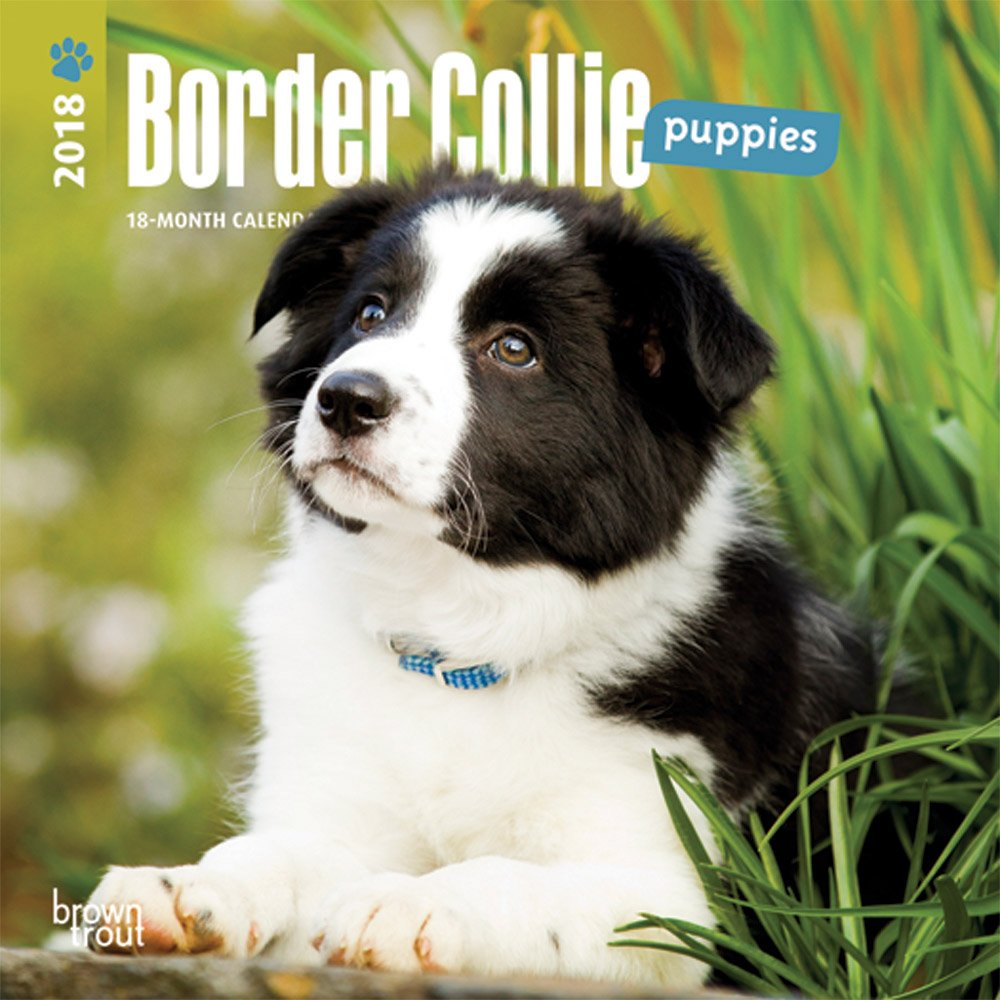 Amazoncom Border Collie Puppies 2018 7 X 7 Inch Monthly Mini Wall