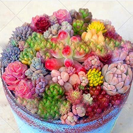 Amazon Com 200pcs Rare Beauty Succulents Seeds Easy To Grow