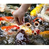 Koi - 20 Live Koi Fish for Pond, Fish Tank or Aquarium | Lot of 20 Standard Fin Grade A Quality Koi (3-4 inch)