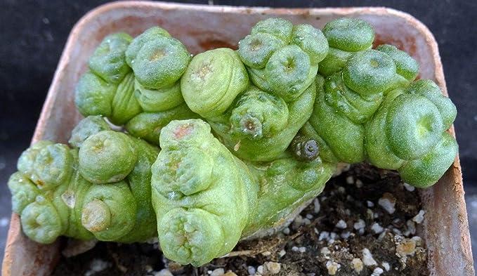 Las semillas orgánicas: Mamaria bocasana cv. monstrose forma ...