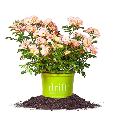 Peach Drift Rose - Size: 1 Gallon, Live Plant, Includes Special Blend Plant Food & Planting Guide: Garden & Outdoor