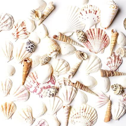 amazon com sea shells mixed beach seashells various sizes up to 2