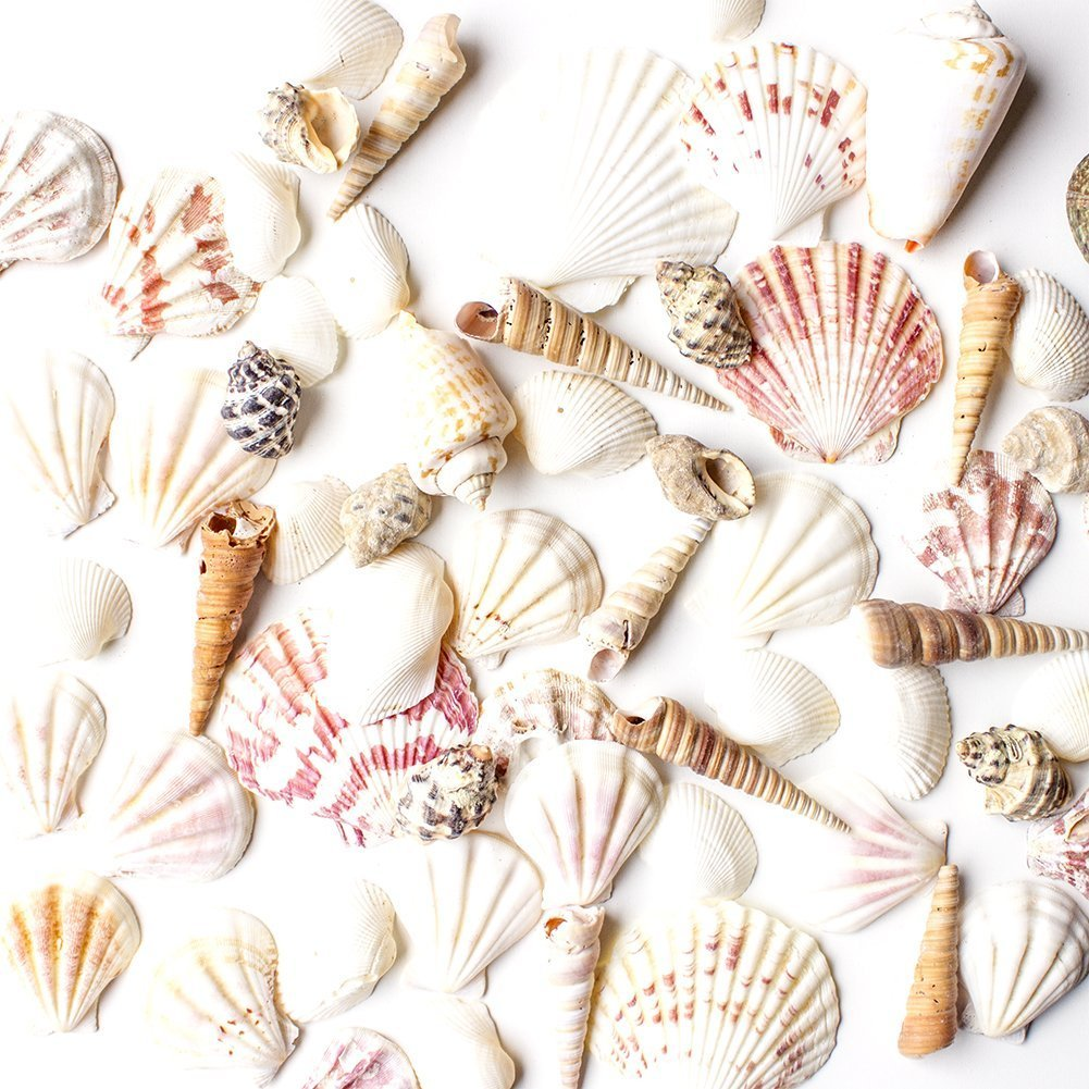 Sea Shells Mixed Beach Seashells   Various Sizes Up To 2