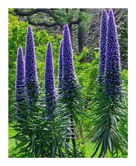 Echium Pininana blue seeds rare graines Echium Pininana bleu garden semis
