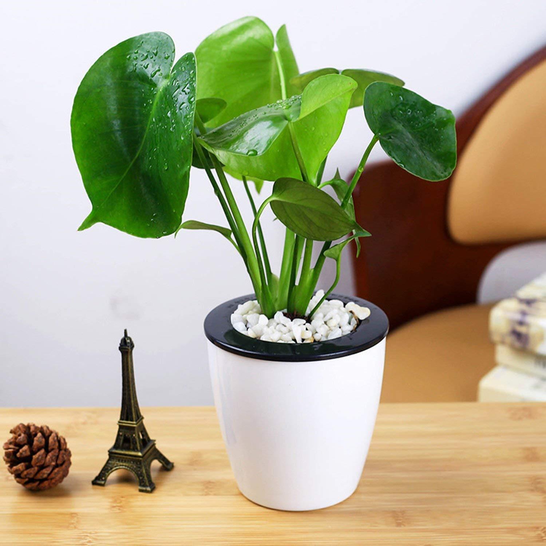 Monstera Topfpflanzen - 10 Samen Indoor Zierpflanzen, Grüner Blätter Immergrün Wekold