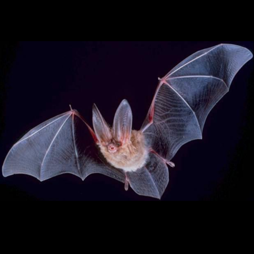 Bat species trivia quiz -