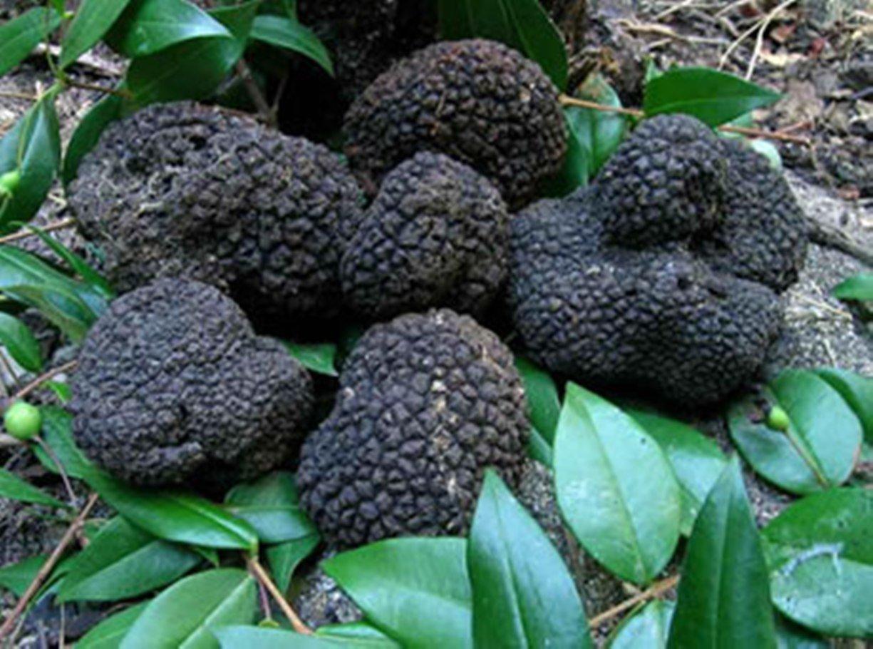 10 G Seeds Spores Of Truffle Black Garden Mushrooms Kit / Fungus By  Unknown: Amazon.com: Grocery U0026 Gourmet Food