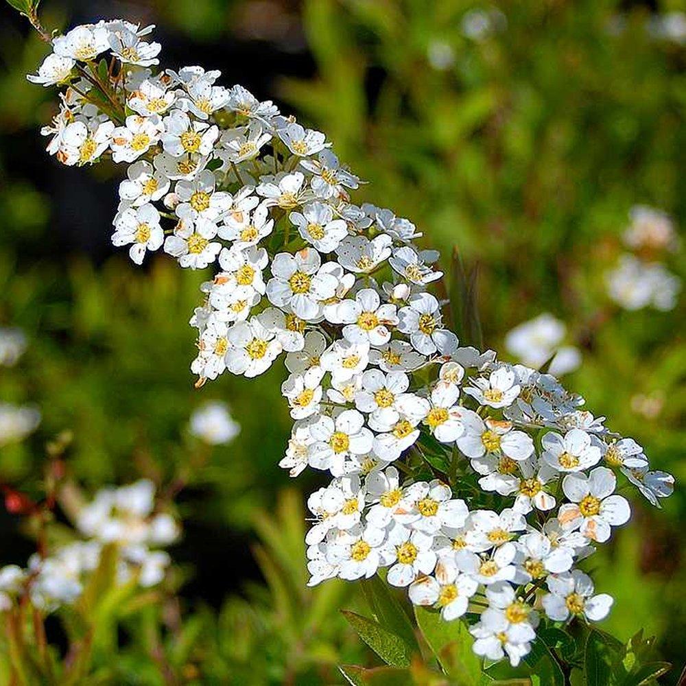 1 X SPIRAEA 'ARGUTA' BRIDAL WREATH DECIDUOUS SHRUB HARDY GARDEN PLANT IN POT Gardener's Dream