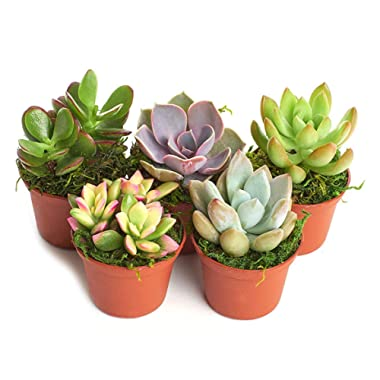 Shop Succulents Real Live Succulents/Unique Indoor Cactus Decor/Terrarium/DIY Plants (5 Pack), Fully Rooted in Planter Pots with Soil
