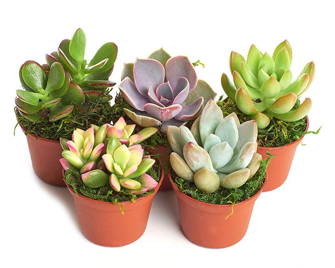 'Succulent' Terrarium & Fairy Garden Plants - 5 Different Plants in 2'' Pots