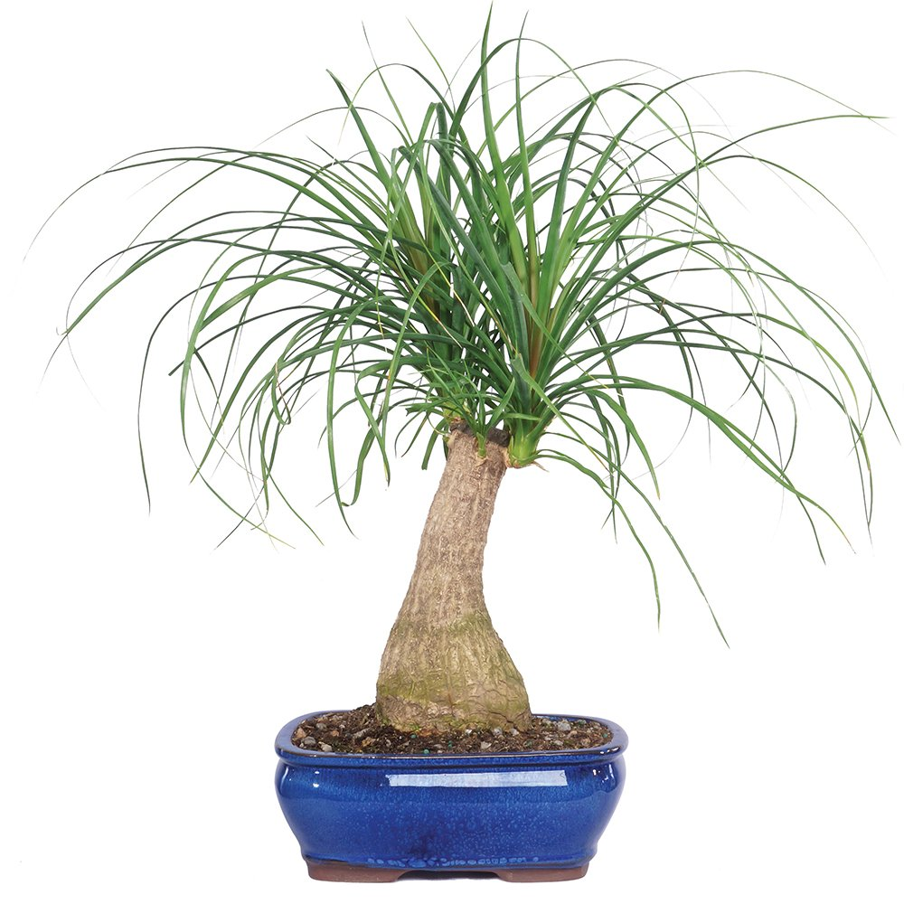 Amazon.com : Brussel\'s Ponytail Palm Bonsai : Plant Germination Kits ...