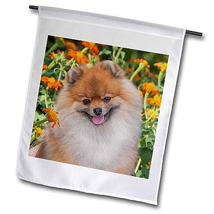 Amazon.com: Danita Delimont – Perros – Purebred Pomeranian ...