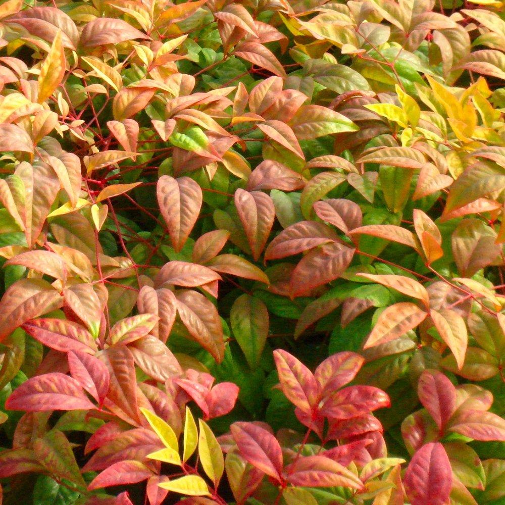 Cottage Hill Nandina 'Fire Power' 2 Piece Live Plant, Green-Red-Orange Foliage