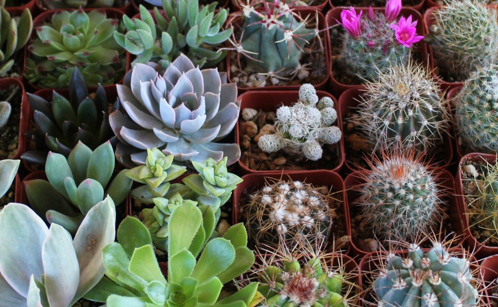 36 Succulent & Cactus Variety Pack- No Two Plants are Alike, Make Your Garden Unique with A Beautiful Collection of Succulents and Cacti - by Jiimz by Jiimz (Image #4)