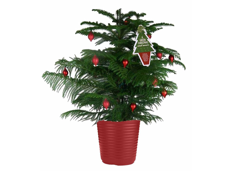 Island Christmas Tree.Sauparnika Norfolk Island Pine Type Indoor Christmas Tree