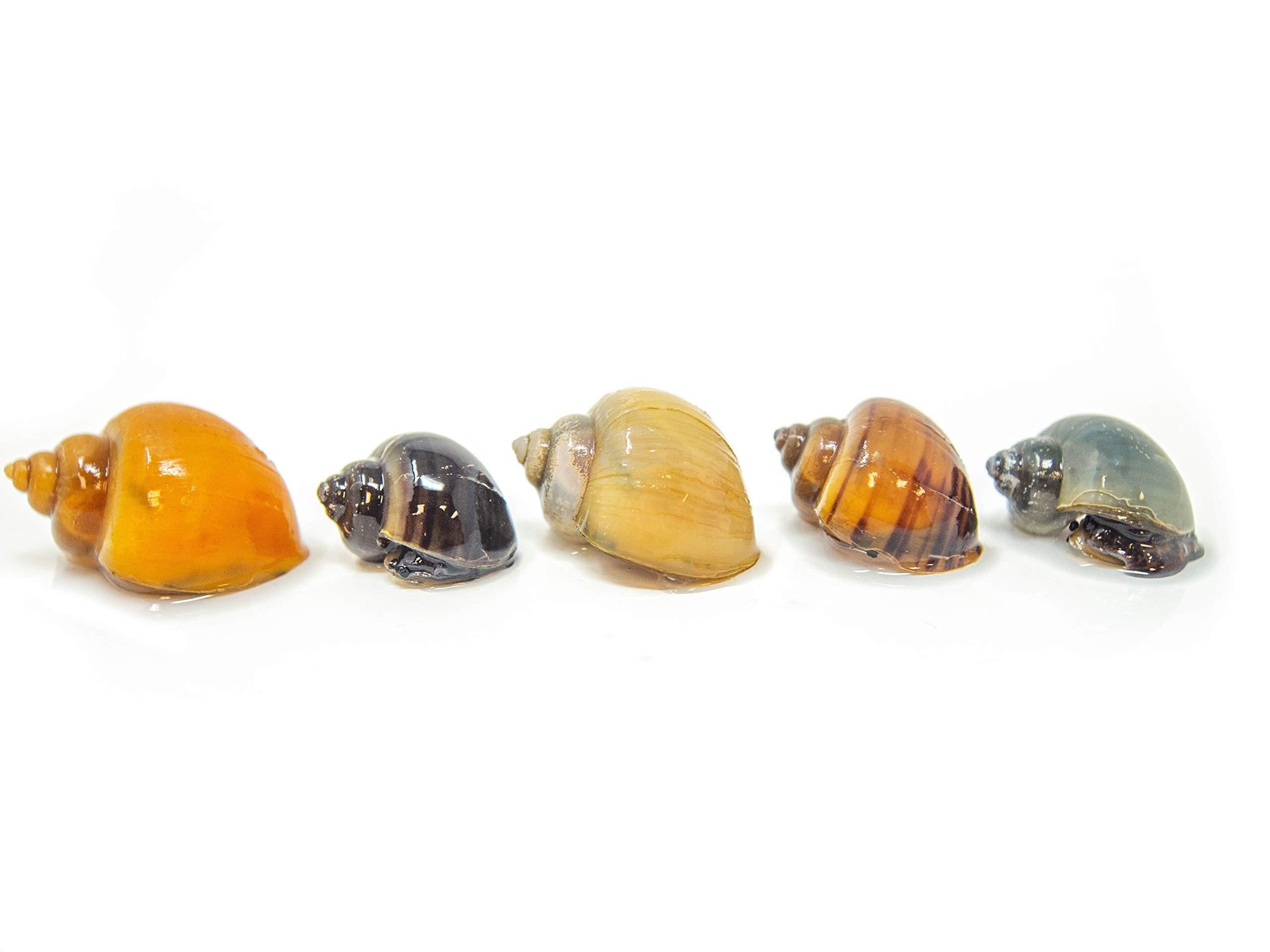 Aquatic Arts 15 Deluxe Multi-Color Mystery Snail Pack | Algae Scraper | Aquarium Substrate Cleaner | Nano Tank Filter | Safe With Tetra | Guppy Fish,, 0.7 Lb ()