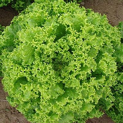 100pcs Organic Buttercrunch Lettuce Seeds Vegetable Seeds Heirloom Non GMO Seeds for Planting : Garden & Outdoor