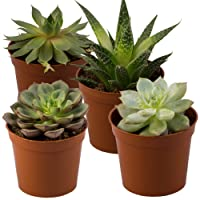 4-Pack Rocker B Plant Farms SUC001 Succulent Deals