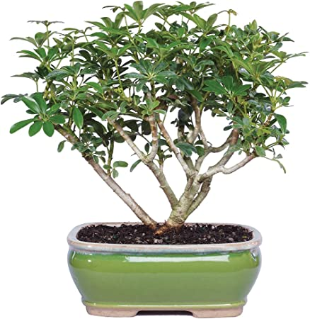 Bonsai 3 Years Old 7 To 10 Tall With Decorative Container Brussels Bonsai Live Hawaiian Umbrella Indoor Bonsai Tree Patio Lawn Garden Belasidevelopers Co Ke