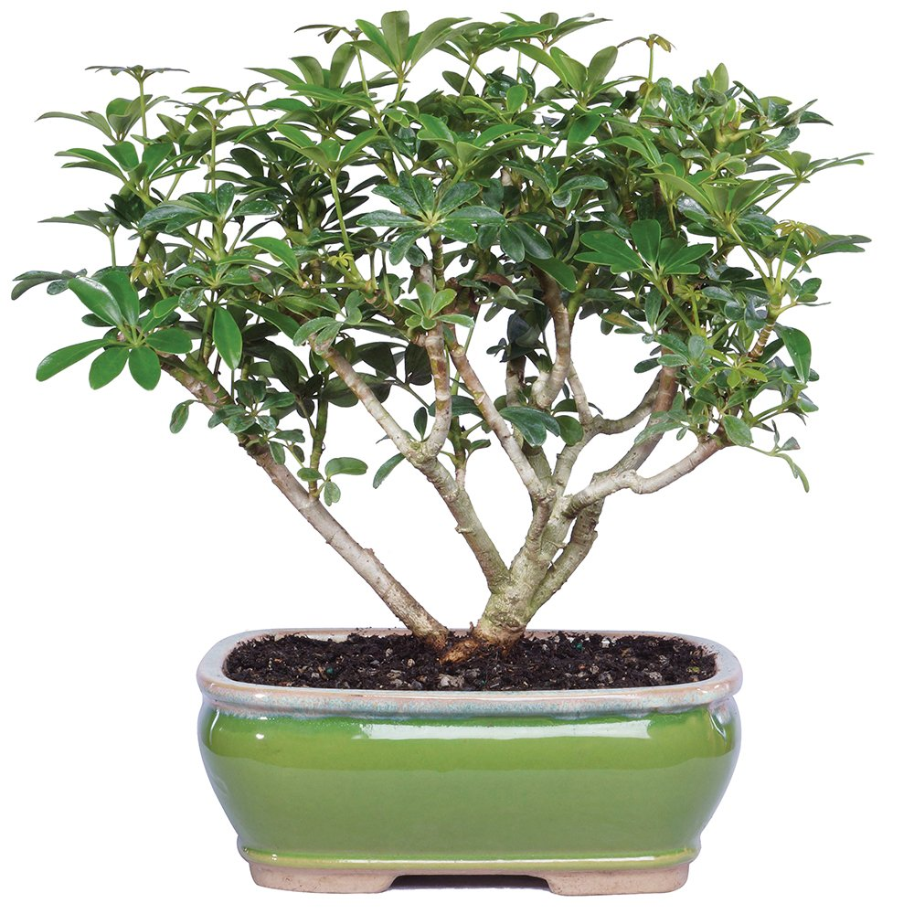Brussel's Live Hawaiian Umbrella Indoor Bonsai Tree - 3 Years Old; 7'' to 10'' Tall with Decorative Container by Brussel's Bonsai (Image #1)