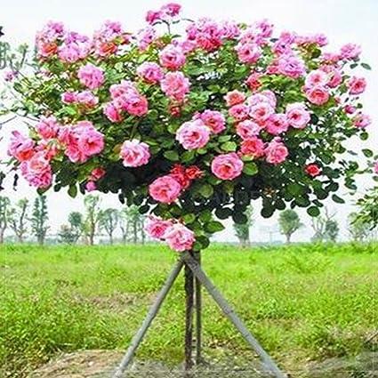 Amazon best garden seeds big pink rose tree 50 seeds best garden seeds big pink rose tree 50 seeds professional pack big blooms mightylinksfo
