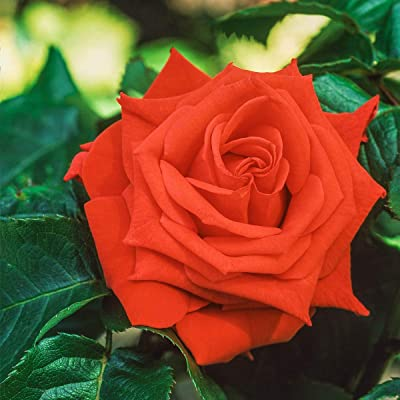 SPRING HILL NURSERIES - Tropicana Hybrid Tea Bare Root Rose - A Gorgeous Blend of Orange and Coral Will add a Festive Feel to Your Garden - Includes one Bare Root per Offer : Garden & Outdoor