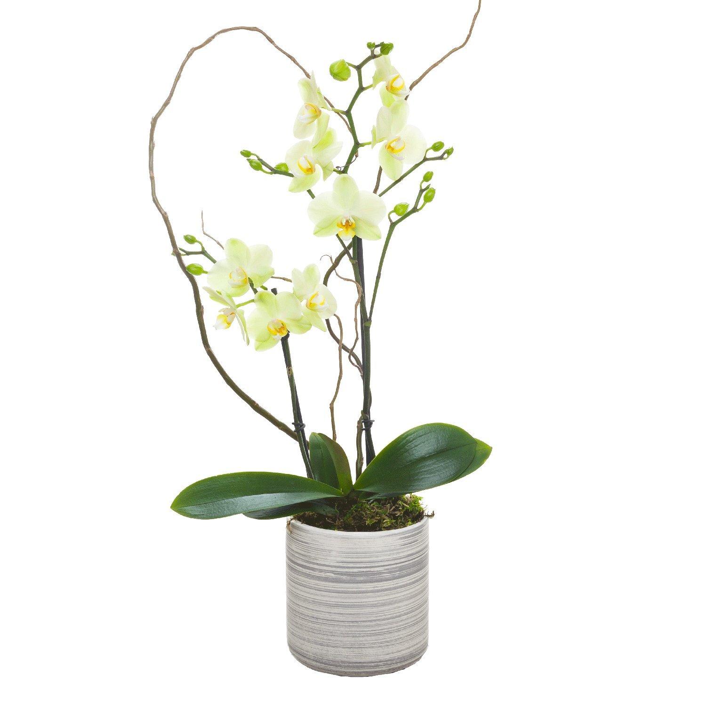 Living Phalaenopsis in Light Grey Ceramic pot - Petite Light Yellow Blooms