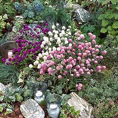 Park Seed Las Vegas Mix Gomphrena Seeds : Garden & Outdoor
