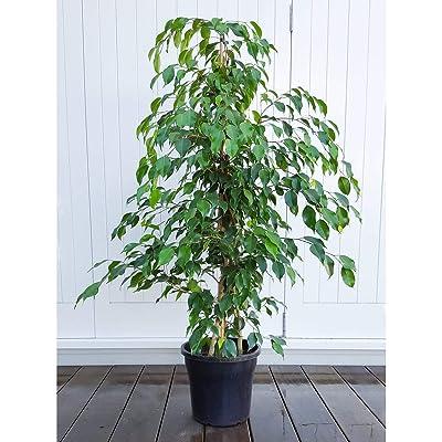 Live Ficus Benjamina Green aka Weeping Fig, Benjamin Fig, Ficus Tree Live Plant - Indoor 4-5 Feeet Tall Live Plant Fit 5 Gallon Pot : Garden & Outdoor