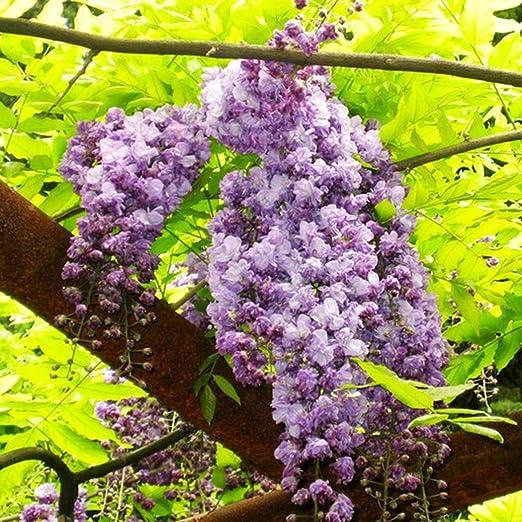 Masoke SemillaCasa - Semillas de flores chinas Wisteria Sinensis ...
