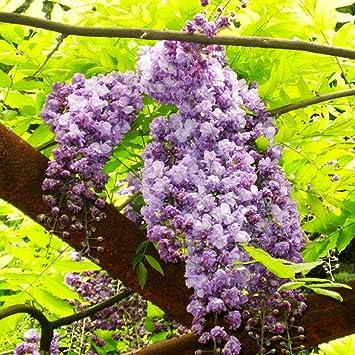 Masoke SemillaCasa - Semillas de flores chinas Wisteria Sinensis, un Sueño Resistente al Invierno Escalador Fuerte (# 3 (10 pcs)): Amazon.es: Jardín