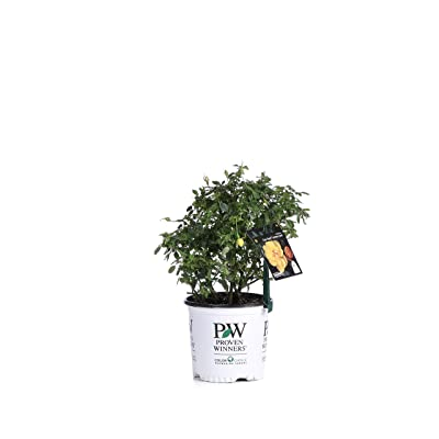 1 Gal. Oso Easy Lemon Zest Landscape Rose (Rosa) Live Shrub, Yellow Flowers: Garden & Outdoor