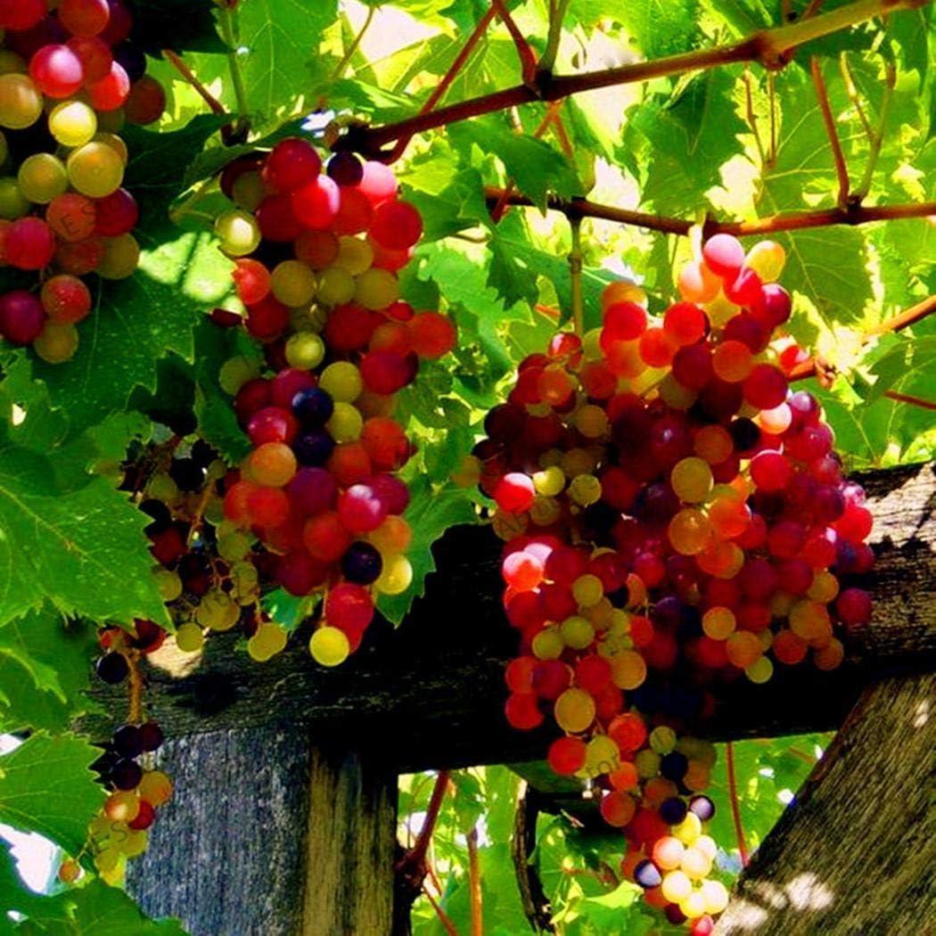 TOMASA/Seedhouse Bio semillas de granada semillas de bonsai semillas de /árboles frutales semillas de frutas resistentes perennes para balc/ón//terraza//jard/ín