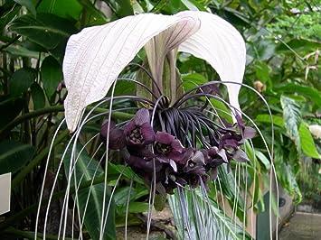 Amazon tacca integrifolia white bat flower live plant tacca integrifolia white bat flower live plant mightylinksfo