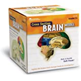 Learning Resources Soft Foam Cross-Section Brain Model