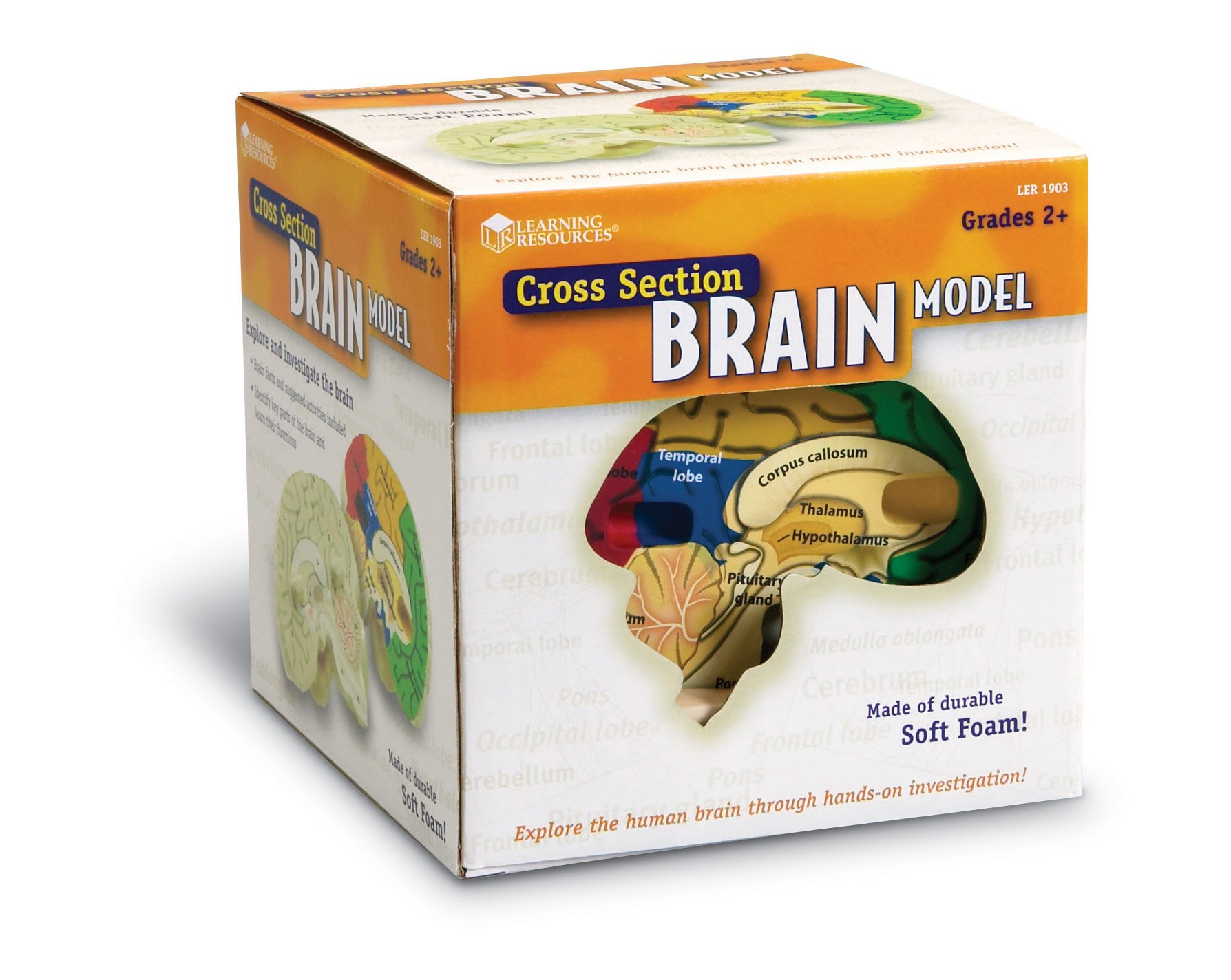 Brain Model Learning Resources Human Anatomy Medical Student ...