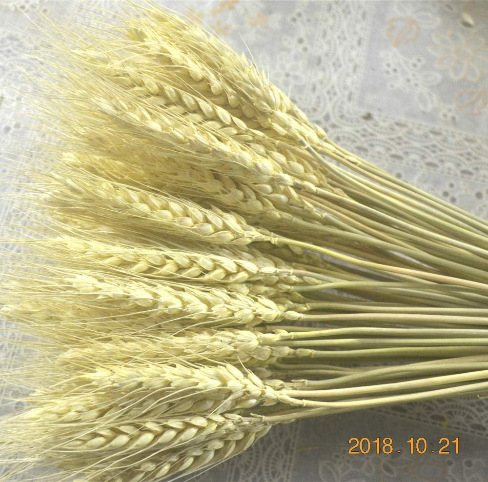 Natural Flores secadas naturalmente para la Boda HZL 50 Piezas de Tallos de Trigo seco Ramo de Hierba Seca decoraci/ón de Trigo seco Natural