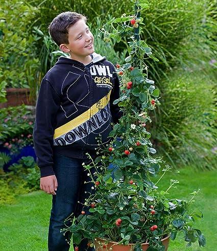 Top BALDUR-Garten Kletter-Erdbeere 'Hummi', 3 Pflanzen Fragaria @FO_41