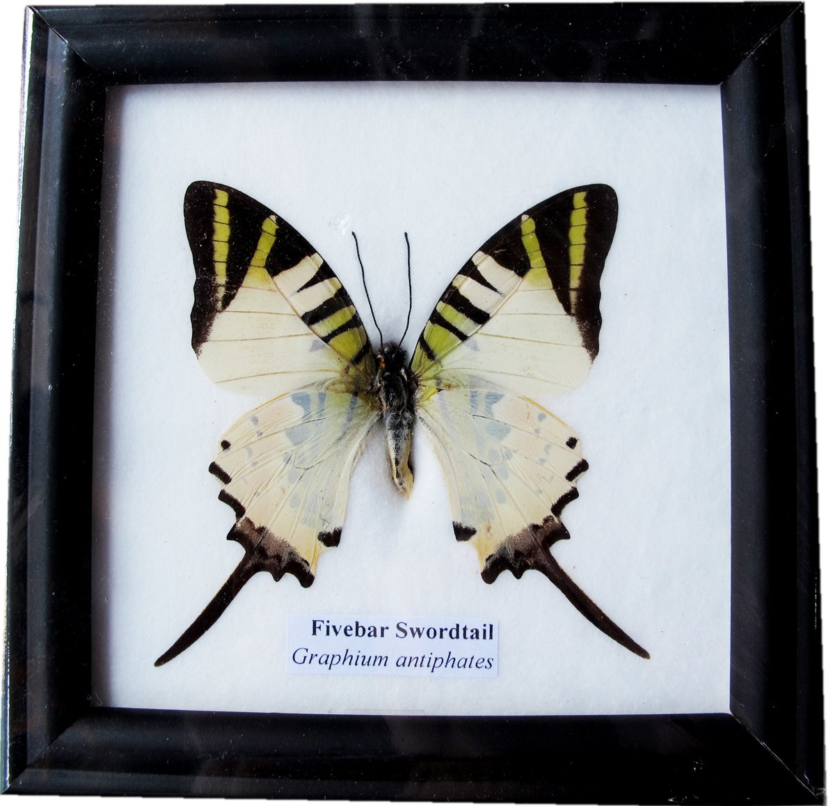 REAL BEAUTIFUL FIVEBAR SWORDTAIL BUTTERFLY DISPLAY INSECT TAXIDERMY by ThaiTaxidermy (Image #1)