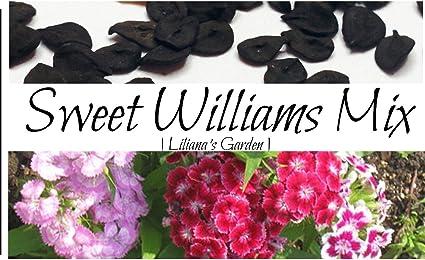 200+Seeds Dianthus Sweet William Mix Flower Seeds Dianthus Barbatus