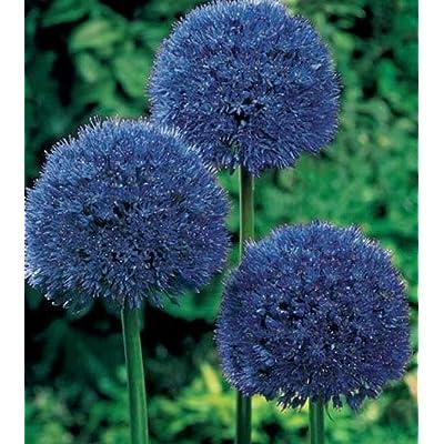80 Seeds Blue Giant Allium Giganteum Flower Seeds SBC-RR : Garden & Outdoor