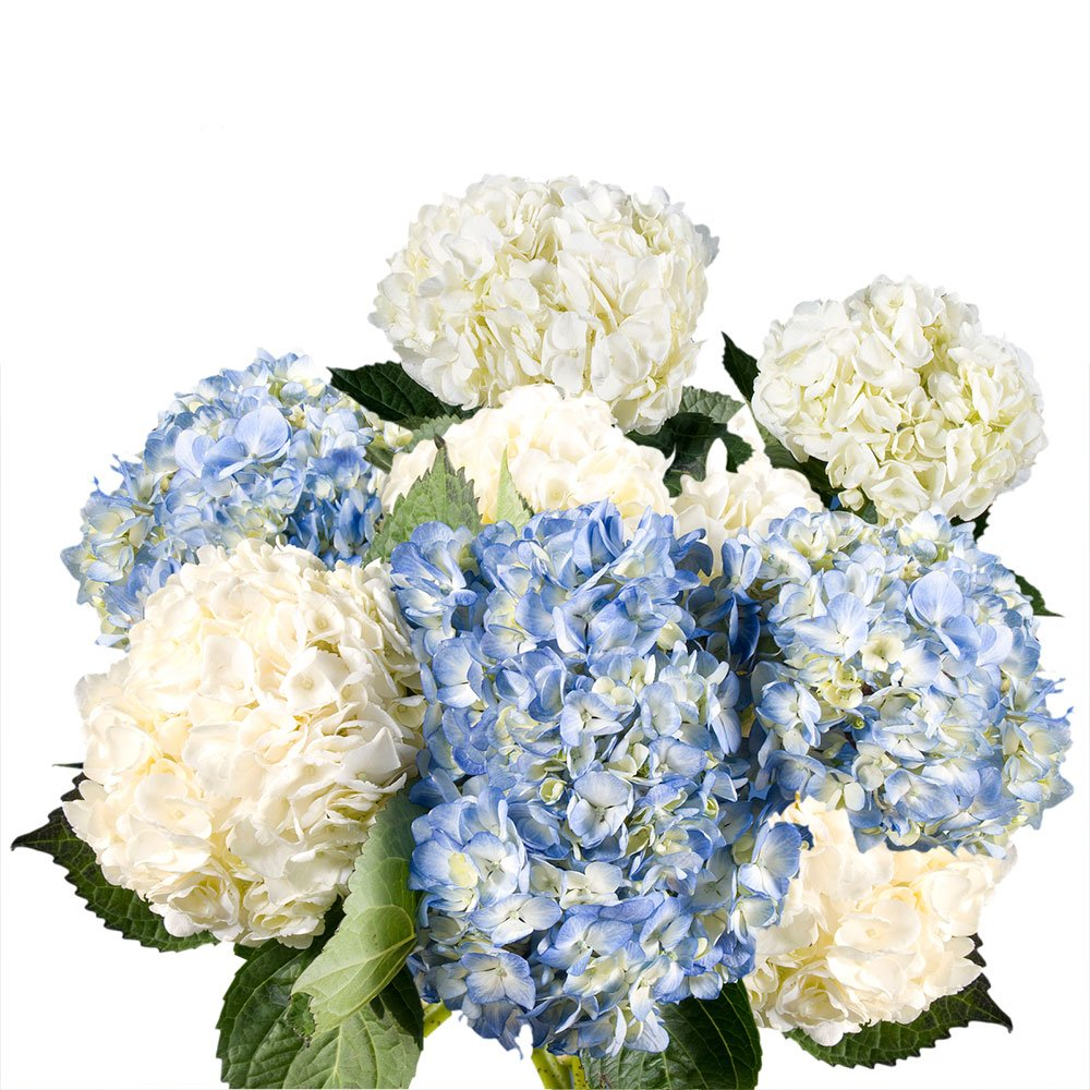 GlobalRose 20 Fresh Cut Assorted Colors Hydrangeas - Fresh Flowers For Weddings or Anniversary. by GlobalRose (Image #4)