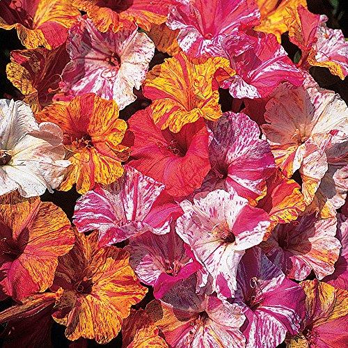 Burpee Kaleidoscope Mix Four O'Clock Seeds 45 seeds