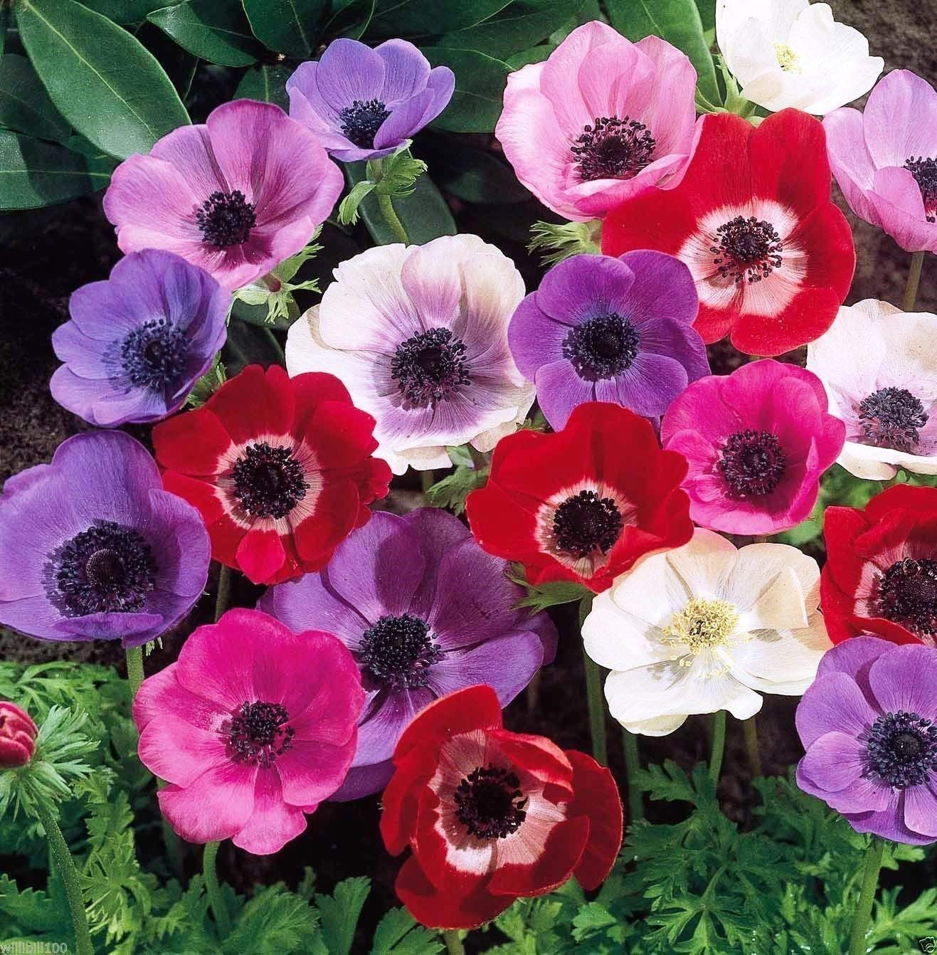 Amazon Com 15 Mixed Color Anemone Bulbs Perennial Flowering