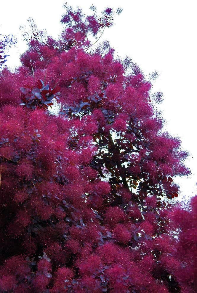 Amazon Com Purple Smoke Tree 1 To 2 Feet Tall Seedling Purple